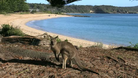 Australia-Murramarang-Beach-Kangaroo-Turns-Toward-Beach