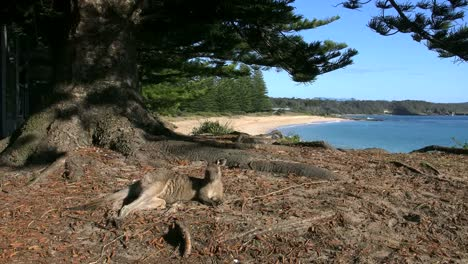 Australia-Murramarang-Kangaroo-And-Scenic-Beach