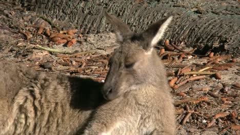 Australia-Murramarang-Kangaroo-Head