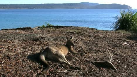 Australia-Murramarang-Kangaroo-Lounging