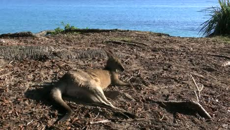 Australia-Murramarang-Kangaroo-Zooms-To-Head