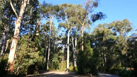 Australia-Yarra-Ranges-Np-Gum-Forest-View