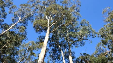 Australia-Yarra-Ranges-National-Park-Gum-Forest