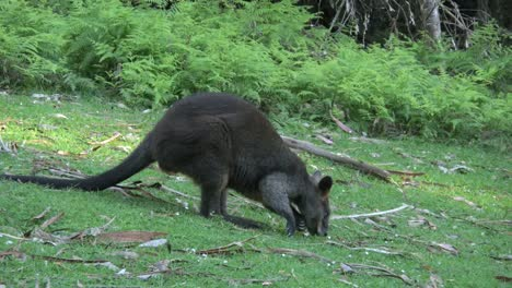Australia-Yarra-Ranges-Wallaby-Explores-The-Ground