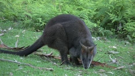 Australia-Yarra-Ranges-Wallaby-Grazes-Then-Looks-Around