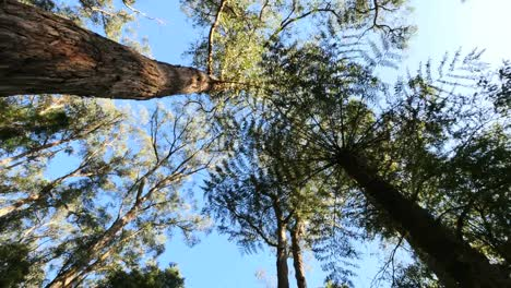 Australia-Yarra-Ranges-Ferns-And-Gum-Forest-Looking-Up