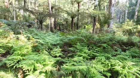 Australia-Yarra-Ranges-Ferns-In-Gum-Forest