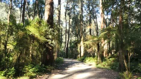 Australia-Yarra-Ranges-Gum-Forest-Road