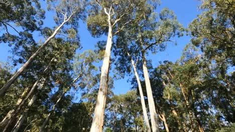 Australia-Yarra-Ranges-Gum-Forest-Tilt-Down