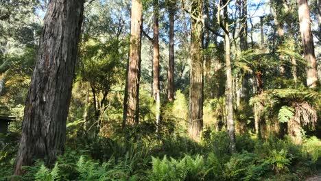 Australia-Yarra-Ranges-Gum-Forest-Trees