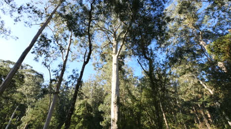 Australia-Yarra-Ranges-Gum-Forest
