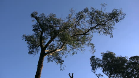 Australia-Yarra-Ranges-Twisted-Gum-And-Blue-Sky