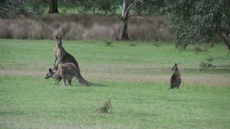 Australia-Kangaroos-At-Halls-Gap-Hopping