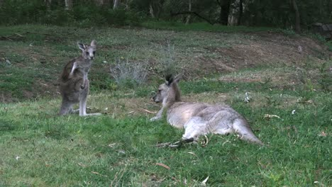 Australia-Kangaroos-At-Halls-Gap-Mother-And-Young-Good