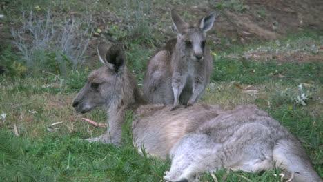 Australia-Kangaroos-Little-One-Leans-On-Mother