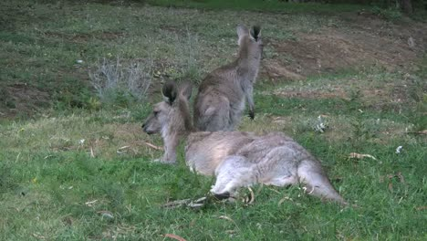 Australia-Kangaroos-Mother-And-Young-Turns-Faces