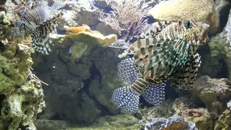 Lion-Fish-Swimming-Around