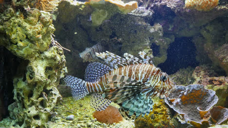 Lion-Fish-Swimming
