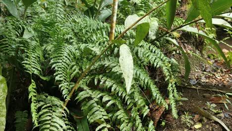 Vanuatu-Ferns