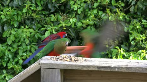 Australia-Crimson-Rosella-Female-Eats-Seeds-And-Males-Fly-Up