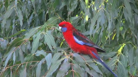 Australia-Crimson-Rosella-In-Tree-Zoom-In