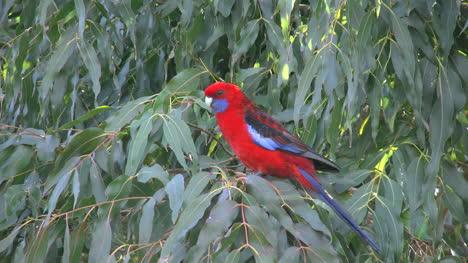 Australia-Crimson-Rosella-In-Tree
