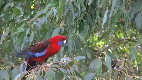 Australia-Crimson-Rosella-On-Tree