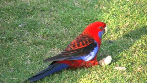 Australia-Crimson-Rosella-Parrot-Eating-Banana