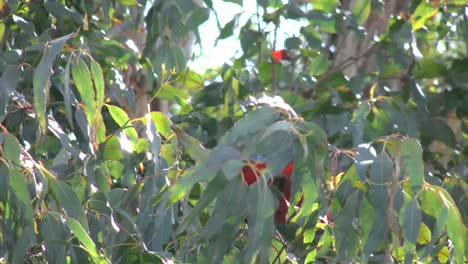 Australia-Crimson-Rosella-Sits-On-Branch-Then-Flies