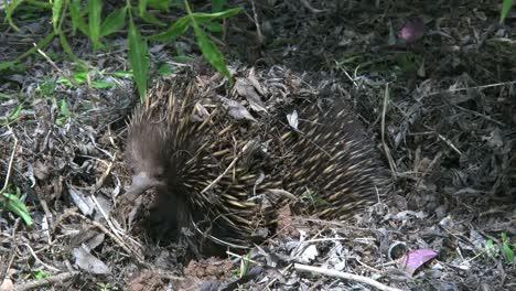 Australia-Echidna-Raises-Head-And-Turns