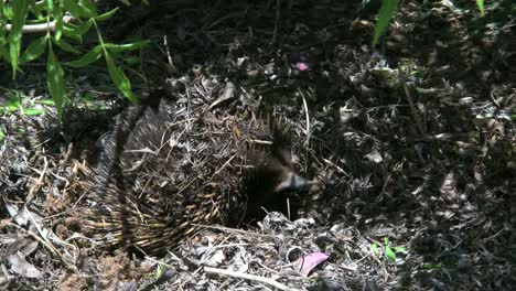 Australia-Echidna-With-Nose