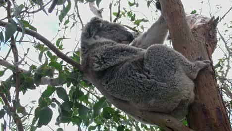 Australia-Koala-Clinging-To-Branch