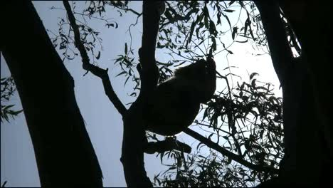 Australia-Koala-In-Gum-Tree-Backlit-Eating