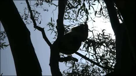 Australia-Koala-En-Goma-De-Mascar-Retroiluminada-Comiendo