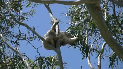 Australia-Koala-In-Gum-Tree-Reaches-For-Leaves