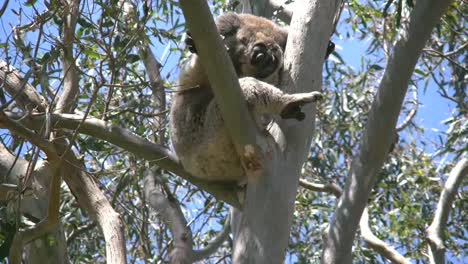 Australia-Koala-In-Gum-Tree-With-Foot-Out