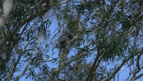Australia-Koala-In-Gum-Tree-Zooms-Out