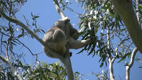 Australia-Koala-In-Tree-Eating-Gum-Leaves