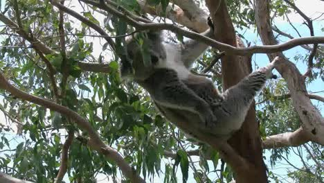 Australia-Koala-In-Tree-Moving