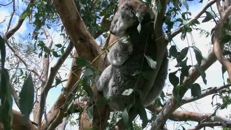Australia-Koala-En-árbol-Gira-La-Cabeza