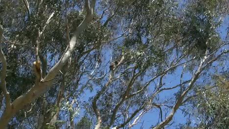 Australia-Koala-Sleeping-In-Gum-Tree-Zooms-In