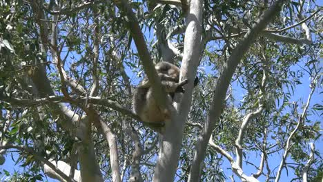 Australia-Koala-Sleeping-In-Gum-Tree-Zooms-Out