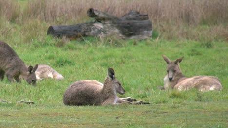 Australia-Kosciuszko-Group-Of-Kangaroos-Pan