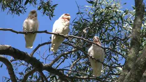 Australia-Long-Billed-Corella-Birds-Gum-Tree-One-Flies-Zoom-In