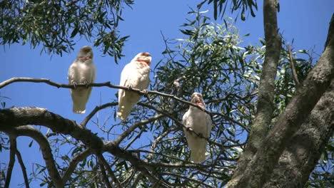 Australia-Long-Billed-Corella-Birds-Gum-Tree-One-Flies