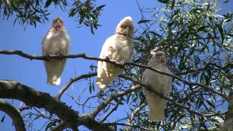 Australia-Long-Billed-Corella-Birds-In-Gum-Tree-Bite-Attempt