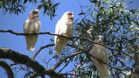 Australia-Long-Billed-Corella-Birds-In-Gum-Tree-Head-Scratch