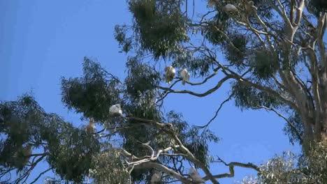 Australia-Long-Billed-Corella-Birds-In-Gum-Tree-Swaying-Branches