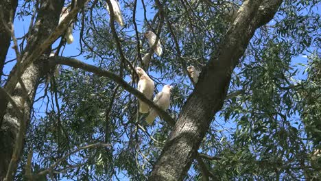 Australia-Long-Billed-Corella-Birds-In-Gum-Tree-Two-Fly-Away