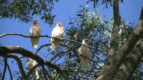 Australia-Long-Billed-Corella-Birds-In-Gum-Tree-Zooms-In